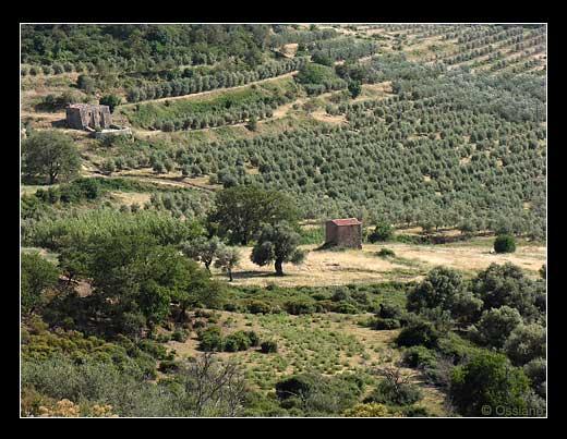 Oliveraies en Balagne
