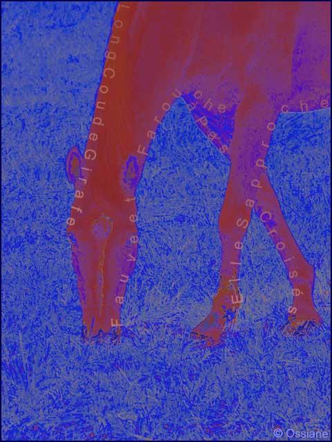 Long cou de girafe, elle s'approche à pas croisés, fauve et farouche
