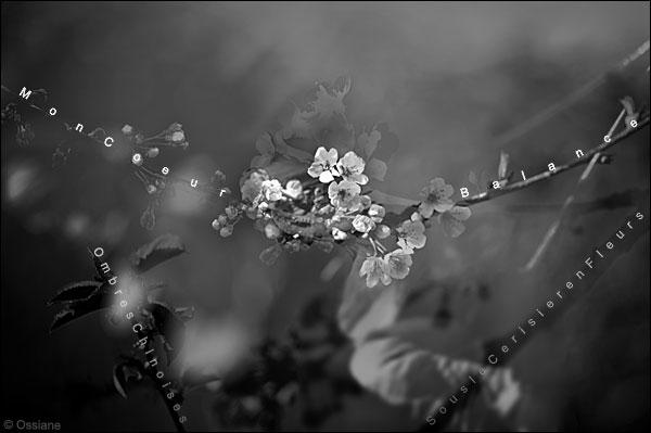 ombres chinoises, sous le cerisier en fleurs mon coeur balance