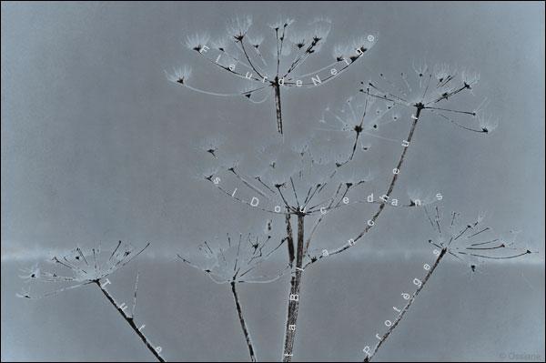 Fleur de neige, si douce dans ta blancheur, tu te protèges